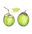 ink sketch of young green coconuts vector image vector image