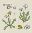 dandelion medical botanical isolated vector image