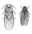 Cicada vintage engraving vector image vector image