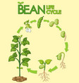 diagram showing how plants grow from seed to beans vector image vector image