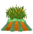 Planting corn vector image vector image
