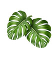 two monstera leaves vector image vector image