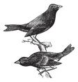 Indigo Bunting vintage engraving vector image vector image
