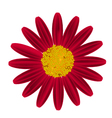 Red Daisy Flower on A White Background vector image vector image