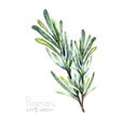 Watercolor rosemary vector image