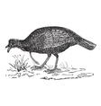 Wild Turkey vintage engraving vector image