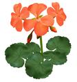 geranium vector image