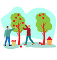 apple harvest men collect ripe fruits vector image