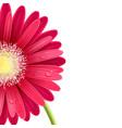 red gerbera flower vector image