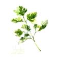 Watercolor branch of parsley vector image vector image