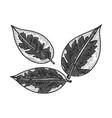 ficus elastica rubber plant sketch vector image vector image