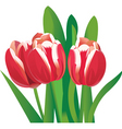 flower tulips vector image