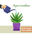 Hand watering agave plant