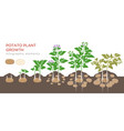 potatoes plant growing process from seed to ripe vector image vector image