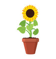 cartoon garden sunflower grow in pot vector image