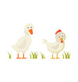 goose and chicken pair of white domestic birds vector image