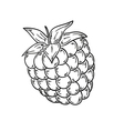 raspberry sketch vector image vector image