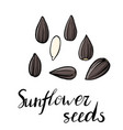 drawing sunflower seeds vector image vector image