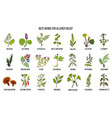 best herbs for allergy relief vector image vector image