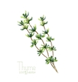 Watercolor thyme vector image vector image
