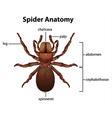 Spider anatomy vector image vector image