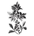 Wax Myrtle vintage engraving vector image vector image