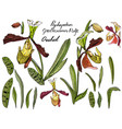 isolated orchid paphiopedilum on white vector image