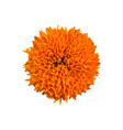 photo-realistic marigold on white background vector image vector image