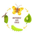 butterfly life cycle insect emergence vector image vector image