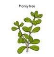 money tree or jade plant crassula portulacea vector image vector image