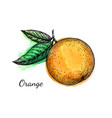 ink sketch of orange on watercolor background vector image