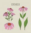 echinacea medical botanical isolated vector image