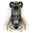 zebra sketchy color portrait zebra on a white vector image