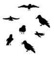 black raven silhouette vector image