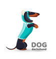 dachshund dog in blue sweater with hooded side vector image vector image