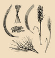 spikes and ears wheat barley rye hand drawn vector image vector image