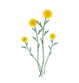 Yellow Daisy Blossoms on A White Background vector image vector image