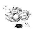 physalis fruit drawing golden berry sketch vector image vector image