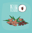 set of isolated plant pecan nuts herb vector image