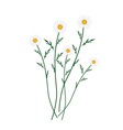 White Daisy Blossoms on A White Background vector image vector image