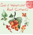 Watercolor red currants vector image vector image