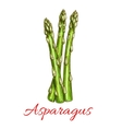 Asparagus vegetable stem isolated sketch vector image vector image