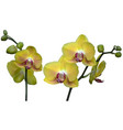 yellow orchid plant with flowers vector image vector image
