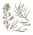 canola flower organic colza or rape plant branch vector image vector image