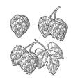 Hop herb plant wih leaf vintage engraved vector image