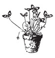 a healthy potted clover plant vintage vector image vector image