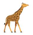 giraffe walking african animal vector image