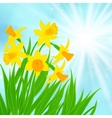 Spring card background with daffodils vector image vector image