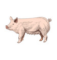 hand drawn pig vector image