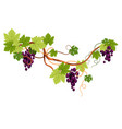 vine branch grapes plantation isolated icon vector image vector image